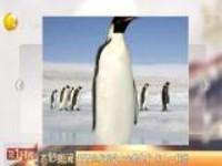 新西兰发现超大企鹅化石  和人一样高