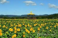 23日,在全罗南道长城郡长城邑黄龙江边上,大片的向日葵开花结果。