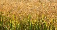 盐碱地改良第三年后的水稻。赵永新摄