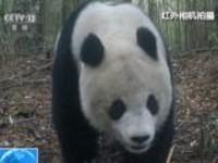 四川:美姑大风顶保护区拍到大熊猫母子