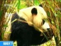 陕西太白:公路边相继发现大熊猫 羚牛