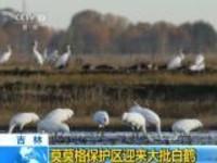 吉林:莫莫格保护区迎来大批白鹤