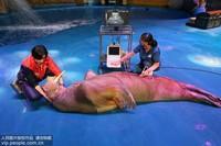 2019年11月5日,山东烟台,海昌鲸鲨海洋公园的工作人员为海象做B超。