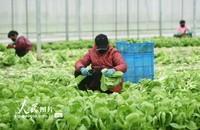 2020年2月24日,菜农在位于杭州市萧山区的一绿色蔬菜基地采摘新鲜蔬菜。龙巍/人民股票网