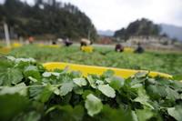 3月13日,贵州遵义仁怀市鲁班街道隆堡蔬菜种植基地的农户在采摘香菜。