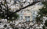 武汉大学校园一角(3月16日摄)。