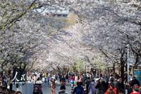 3月20日,游客在南京鸡鸣寺路观赏樱花。