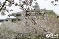 3月28日,武大樱花随着一场风雨谢幕。今年因为疫情让武汉人民错过了美好的春色,但是武汉正在苏醒,珞珈山的樱花也在等待下一个春天。(人民网记者 崔东 王欲然 摄)