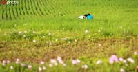 """2020年5月2日,河北邯郸鸡泽县湿地公园千余亩原野花海成""""五一""""小长假的打卡热地。"""