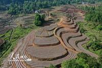 这是2020年5月12日拍摄的湖北省恩施土家族苗族自治州利川市谋道镇四合村新旅游观光茶园上移栽的好茶苗。