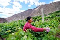 在西藏昌都市芒康县木许乡阿东村,村民在葡萄园里忙碌(5月6日摄)。新华社记者 詹彦 摄