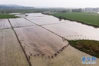 7月20日,澧县澧南镇盖天村村民在插秧(无人机照片)。