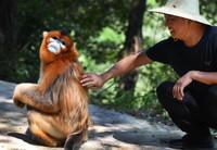 """8月2日,洋县茅坪镇茅坪村村民与下山""""串门""""的金丝猴""""打招呼""""。"""