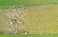 2020年8月3日,村民在广西三江侗族自治县良口乡南寨村抢收早稻(无人机照片)。