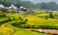 婺源稻黄谷熟,金灿灿的田野与徽派民居相映成景。胡敦煌 摄