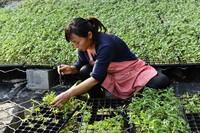 12月23日,在菏泽市定陶区益民蔬菜种植专业合作社,工作人员精选西红柿种苗。