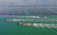 12月24日,在山东荣成桑沟湾海洋牧场,出海作业的船只往返于海上养殖区和码头之间(无人机拍摄)。