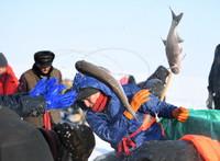 12月27日,渔工们在乌伦古湖挑选捕到的鱼。
