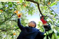 1月13日,吴伯光在果园里采摘脐橙。
