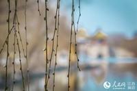 瘦西湖五亭桥旁的垂柳吐出嫩芽。司新利摄