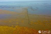 """黄海潮间带滩涂在海水的冲刷下,呈现海滨""""森林""""景观。李东明摄"""