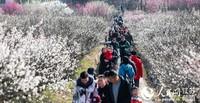 春节假期,南京傅家边梅花山吸引了众多游客赏梅。 溧宣摄