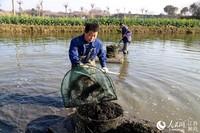 南京市高淳区桠溪街道桠溪村水田里,村民们正在收获草芽。高晓平摄