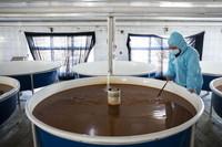 3月25日,工作人员在抚远市水产局放流站大马哈鱼育苗基地内进行育苗工作。