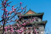 3月21日,北京阳光明媚,明城墙遗址公园山桃花、梅花争相盛开,吸引了许多游客前来观赏游玩。人民网记者 翁奇羽摄