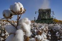采棉机在新疆阿克苏地区沙雅县的一处棉田进行采收作业(2020年10月23日摄)。新疆是我国最大的棉花产区,2020年新疆棉花产量达516.1万吨,占全国棉花总产量87.3%。新华社记者 胡虎虎 摄