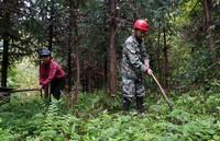 4月16日,蓝先华和妻子在山林中抚育树木。