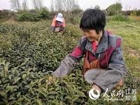 路通了,生活更有奔头了,茶农开心采摘着鲜叶。 人民网 张玉峰摄