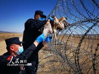 4月29日,民警正在小心翼翼的将受伤的阿尔泰隼慢慢从铁丝网上取下。