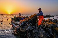 2021年5月5日清晨,在山东荣成桑沟湾海带养殖区,养殖工人们正在采收海带。
