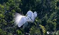 在江苏泗洪县洪泽湖湿地景区,正在休憩的白鹭。张连华摄