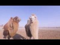 这里是新疆 | 教你成为放骆驼高手