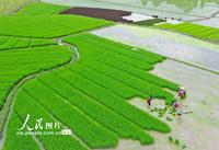 2021年5月16日,湖南省永州市道县梅花镇贵头村,村民在秧苗田里劳作。