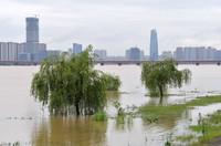 在赣江南昌段,由于水位上涨,一些树木泡在水里(5月23日摄)。