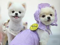 """當地時間2021年5月30日,韓國京畿道高陽市,當地舉行""""K-Pet Fair""""寵物市集。視覺中國版權作品,請勿轉載"""