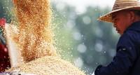 6月1日,山東省臨沂市郯城縣郯城街道三井村村民將收獲的小麥裝車。