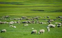 6月6日,畜群在呼倫貝爾大草原上覓食。