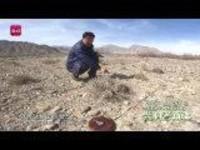 这里是新疆丨阿合奇的裸果木