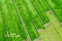2021年6月15日,在寧波海曙區陸西村,農民們正在收割藺草。