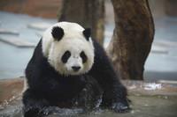 """6月27日,在青海省西寧熊貓館,大熊貓""""園滿""""在水池中玩耍。"""