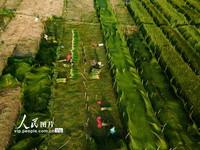 2021年6月30日,四川省眉山市東坡區尚義鎮的村民在藺草田里勞作。