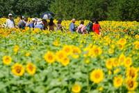 7月4日,游客在北京奧林匹克森林公園北園觀賞向日葵。