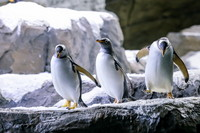 這是7月5日在比利時布呂熱萊特的天堂動物園拍攝的巴布亞企鵝。