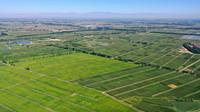 青铜峡市叶盛镇的水稻种植基地(8月5日摄,无人机照片)。