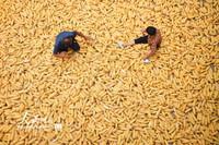 2021-10-27,山东省临沂市郯城县马头镇杨庄村农民在晾晒玉米。