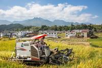 2021-10-27,收割机正在竹溪县中峰镇狄裕沟村贡米田园收割稻谷。